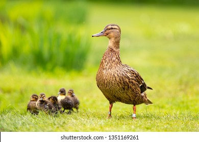 A proud duck with five babyies walking on bright green grass in the Amsterdam Vondelpark in the Netherlands.