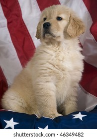 Proud Golden Retriever Puppy (8 weeks) sitting with an American Flag background.