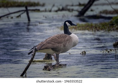 A proud Goose is enjoying the cool waters of the swamp.