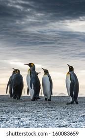 Proud King Penguins at St. Andrews Bay, South Georgia