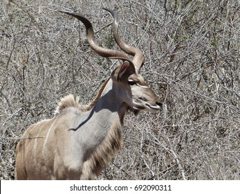 Proud Kudu Buck