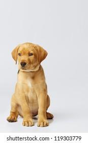 Proud Labrador Puppy on Grey Backdrop