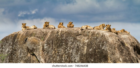 Proud of lions on a rock in the Serengeti National Park - Serengeti