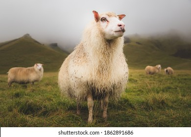 Proud looking Icelandic sheep (Ovis aries) stands tall for the camera in a rural setting near Vik, Iceland.