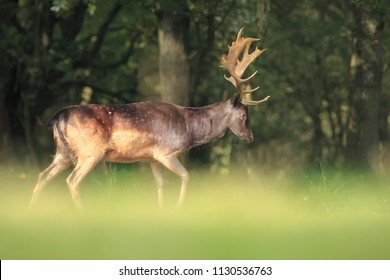 Proud male fallow deer stag, Dama Dama, with big antlers stand up straight on hind legs to reach for leaves in a dark green forest during Fall season.