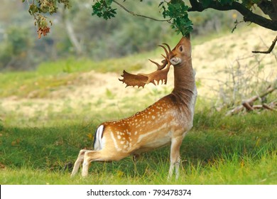 Proud male fallow deer stag, Dama Dama, with big antlers foraging for leaves and berries in a dark green forest during Fall season sunrise.