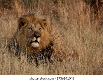 Proud Male lion laying down in long grass