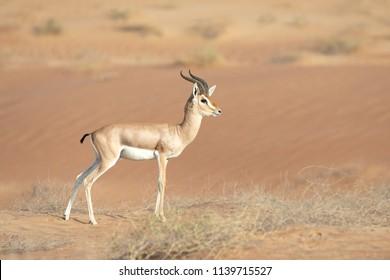 Proud male mountain gazelle posing on top of a desert dune. Dubai, UAE.