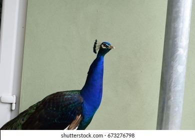 A proud male peacock sits in front of a wall