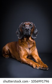 proud portrait of a bloodhound in studio