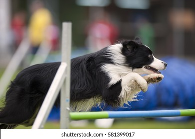 Proud purebred dog, border collie jumping over hurdle on agility competition. He is very obedient and has nice jumping style with paws up. He is concentrated to the next command and obstacle.