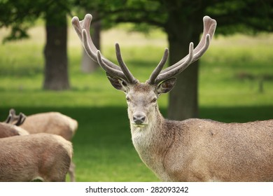 A proud red deer stag displays its antlers