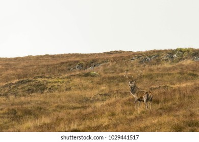 Proud, Standing Stag on Green-Brown Grass in Scottish Highlands