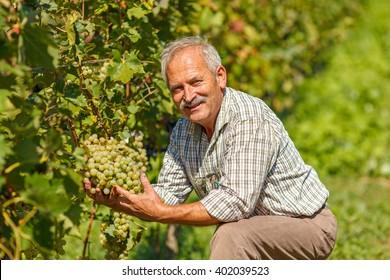 Proud viticulturist showing big grape cluster in vineyard