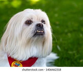 Proud White Pekingese Dog Outside.