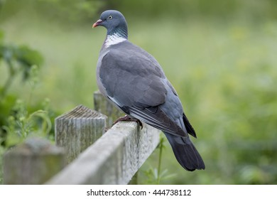 Proud wood pigeon perched on a wooden fence