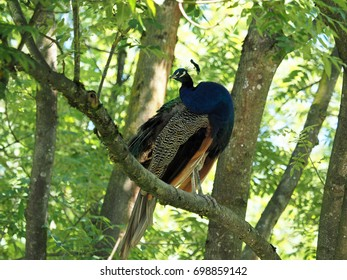A proudly decorated peacock in a tree