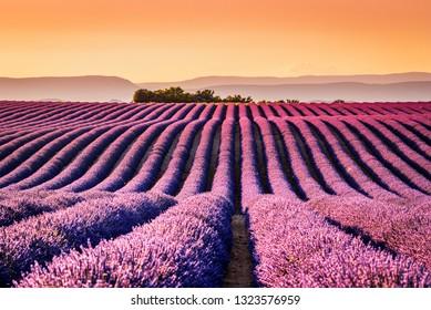 Provence, Francce. Lavender field summer sunset landscape near Valensole.