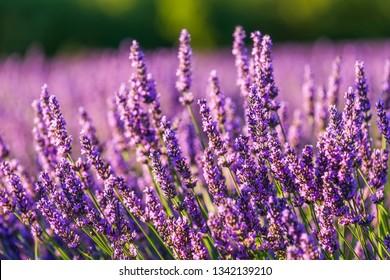 Provence, Francce. Lavender field summer sunset landscape near Valensole