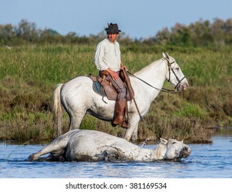 PROVENCE, FRANCE - 08 MAY, 2015: Rider on the horse graze Camargue horses in the swamp nature reserve in the Parc Regional de Camargue - Provence, France