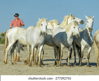 PROVENCE, FRANCE - 09 MAY, 2015: White Camargue Horses on the beach in Parc Regional de Camargue - Provence, France