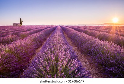 Provence, France. A Lonely house standing in a lavender field at sunrise.