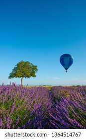 Provence landscape. Wallnut tree in lavender field with hot air balloon.