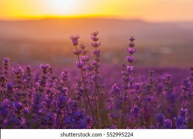 Provence, Lavender field at sunset