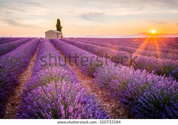 Provence, champ de Lavande au coucher du soleil, plateau de Valensole