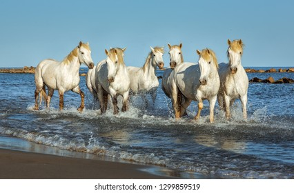 Provence. White Camargue Horses galloping along the beach in Parc Regional de Camargue - France