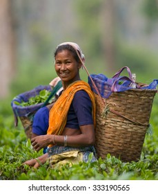 PROVINCE OF ASSAM. INDIA -  APRIL 13, 2011: The woman and the nearby village collect tea on a tea plantation in the morning. April 13, 2011. Province of Assam. India.