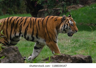 A prowling amur tiger surveys its enclosure