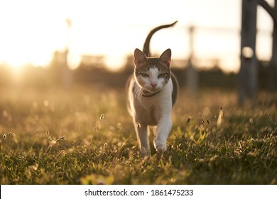 Prowling cat at sunset - summer vibes - country cat - feline gaze