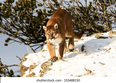 Prowling cougar