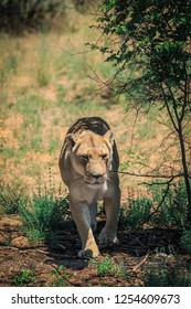 Prowling Lioness in the Bush, Etosha National Park, Namibia