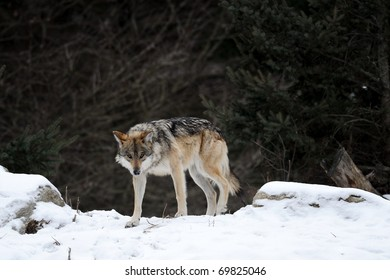 Prowling Mexican gray wolf (Canis lupus baileyi) in winter