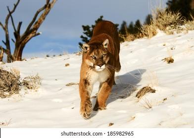 Prowling Mountain Lion