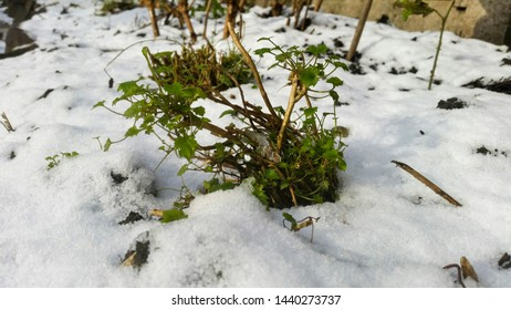 Pruned campanula plant growing through melting snow