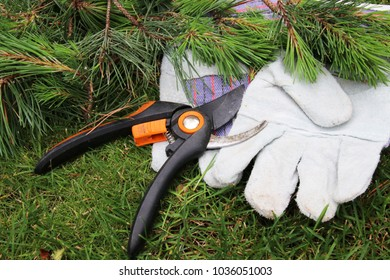 Pruned cultivar Scots pine (Pinus sylvestris) young branches, garden secateurs and leather gloves on the lawn in the summer garden