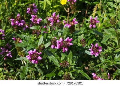 Prunella or self-heal plants, it can be used in alternative medicine.