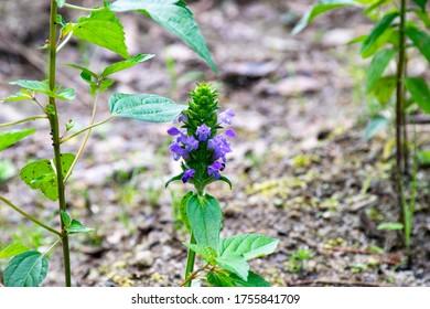 "Prunella vulgaris - Prunella asiatica Nakai. It is called ""Utsubogusa"" in Japan."