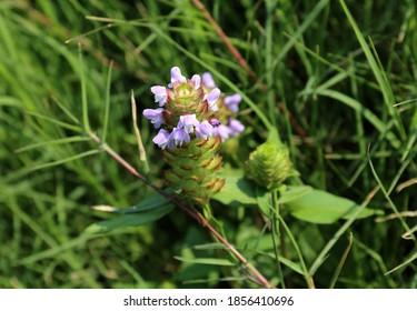 Prunella Vulgaris Flower grow on the grass