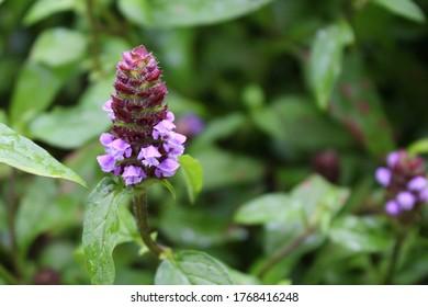Prunella Vulgaris makro single natural flower, medicinal herbs nature background.