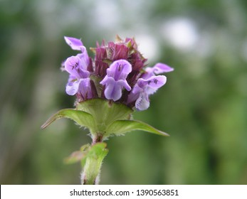 Prunella vulgaris, self-heal, heal-all, woundwort, heart-of-the-earth, carpenter's herb, brownwort and blue curls purple flower growing on the field. Honey and medicinal plants in Europe. drug plants