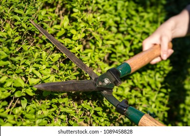 Pruner cutting a hedge