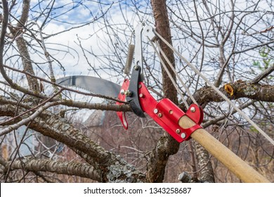 Pruner and garden saw for cutting branches of cherry bush overgrown with lichen. Pruning of fruit trees with lopper. Spring or autumn work in garden. Gardening concept