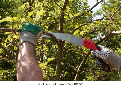 Pruning an apple tree with pruning saws