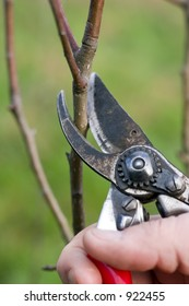 Pruning an apple tree in winter