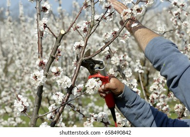 Pruning apricot tree