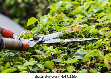 Pruning bushes in the garden